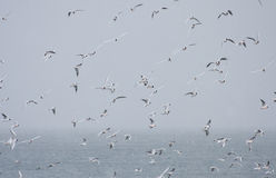 Flock of Black Headed Gulls at sea. In Skjalfandi Bay, Iceland. aka Chroicocephalus ridibundus Royalty Free Stock Photos