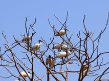 A flock of Black-headed or Oriental White ibises (Threskiornis m Stock Photos