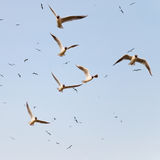 Flock of black headed seagulls Stock Images