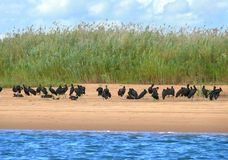 A flock of black pelicans near water. Royalty Free Stock Image