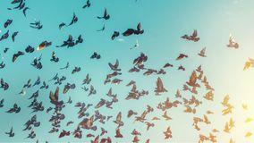 Many Pigeons Fly In A Blue Sky. Freedom Destination Travel Concept. Flock of Black Pigeons Fly In A Blue Sky. Freedom Destination Travel Concept Royalty Free Stock Images