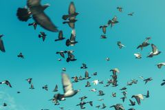 Pigeons In A Blue Sky. Freedom Destination Travel Concept Stock Photography