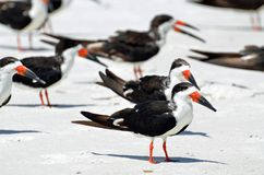 A flock of black skimmer birds give a pop of color while standing on a white sandy seashore. Close up of a group of black skimmers with white chest, bright royalty free stock image