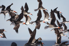 Flock of Black Skimmers in flight Stock Images