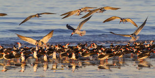 A flock of black skimmers (Rynchops niger) on the ocean beach at sunset Royalty Free Stock Photography