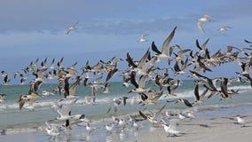 Flock of Black Skimmers Taking Flight - Florida Royalty Free Stock Images