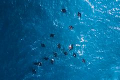 A flock of black stingrays in the sea. Large black rays in sea water royalty free stock images