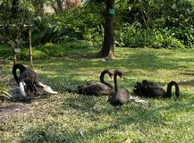 Flock of black swan on green lawn in the park Stock Photo