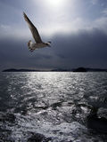 Flock of black tail gull. Resident in East Asia (including China, Taiwan, Japan and Korea) flying around Matsushima Pleasure Cruise in sendai of japan Royalty Free Stock Photo