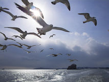 Flock of black tail gull Royalty Free Stock Image
