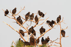 Flock of Black Vultures Stock Photo