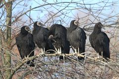Flock of Black Vultures Stock Photography