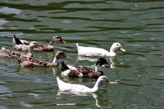 A flock of black and white ducks swiming in the Lake. Garden Kuala Lumpur Malaysia greenery outdoor royalty free stock images