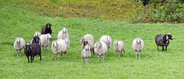 Flock of black and white sheep Royalty Free Stock Photography