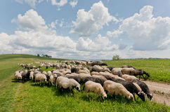 Flock of black and white sheeps on the dirt road of green hilly range. Rural landscape Royalty Free Stock Photography