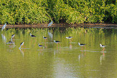 Flock of Black winged Stilt, Common stilt, Pied stilt wader bird Stock Photo