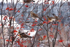 A flock of blackbirds in the branches of a tree. With red rowan Royalty Free Stock Image