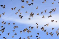 Flock of Blackbirds Flying Royalty Free Stock Photo