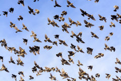 Flock of Blackbirds Flying Stock Photos