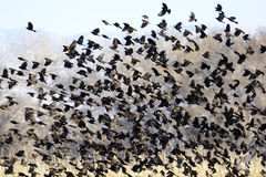 Flock of Blackbirds Flying Stock Photos
