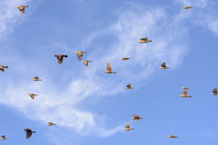 Flock of Blackbirds Flying Royalty Free Stock Images