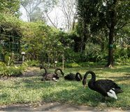 Flock of black swan on green lawn in the park Royalty Free Stock Photos