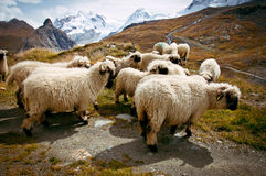 Flock of Blacknosed Swiss sheeps (Ovis aries), Swiss Alps, Switz Stock Photo