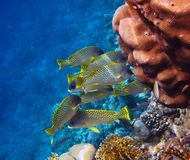 Flock of  Blackspotted rubberlips dozing among the corals on a reef in the Red Sea Stock Image