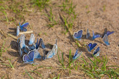 Flock of blue butterflies Royalty Free Stock Photo