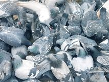 A flock of blue doves, wings spread wide royalty free stock photos