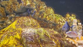 Flock of blue fish under water near the rocks. Video 1080p -  flock of blue fish under water near the rocks stock video