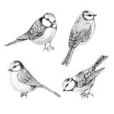 Flock of blue tits isolated over white background Stock Images