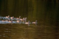 Flock of blue winged teal ducks Anas discors Stock Images