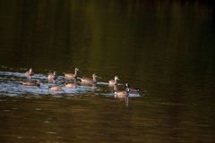 Flock of blue winged teal ducks Anas discors Stock Photo