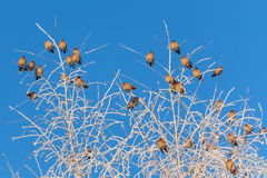 Flock of Bohemian Waxwing birds Royalty Free Stock Photo