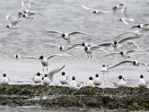 Bonaparte`s Gulls Landing. A flock of Bonaparte`s Gulls landing on the beach Stock Photos