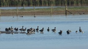 A flock of beautiful Brent Geese, Branta bernicla, standing, flapping, feeding and preening along with other wading birds in a fre