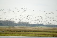 Flock of Brent geese in winter. A flock of Brent geese fllocking around Burnham Norton inner marshes during winter in Norfolk Uk Royalty Free Stock Images