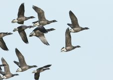 A flock of stunning Brent Goose Branta bernicla flying in the blue sky. royalty free stock image