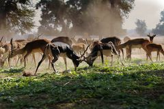 Flock of Brown Deer on Green Grass Field Royalty Free Stock Image