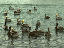Flock of Brown Pelicans on the Gulf of California, near Mulege, Mexico stock photo