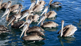 Flock of Brown Pelicans. A flock of brown pelicans in Mission Bay, San Diego Stock Images