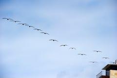 Flock of brown pelicans (pelecanus occidentalis) Royalty Free Stock Photos