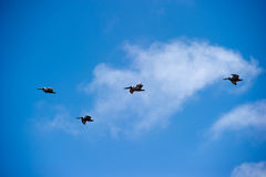 Flock of brown pelicans (pelecanus occidentalis) Stock Photography