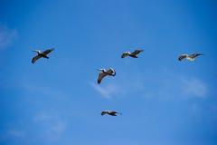 Flock of brown pelicans (pelecanus occidentalis) Stock Photos