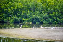 A flock of brown Pelicans in Sanibel Island, Florida. A group of Pelicans resting in a small piece of land at the swamp of Ding Darling National Wildlife Refuge stock photo