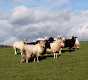 A Flock of Brown and White Sheep. Mixed flock of sheep with Zwartbles, Dartmoor and British Milksheep stock photography