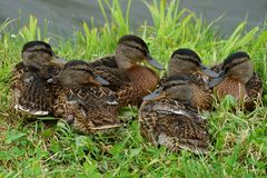 A flock of brown wild ducks sitting in the grass near the water Stock Photos