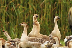 Flock of brownish geese. Flock of brownish domestic geese standing together at bio farm Royalty Free Stock Image