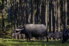 Flock of buffalo family  in pine wood Royalty Free Stock Photos